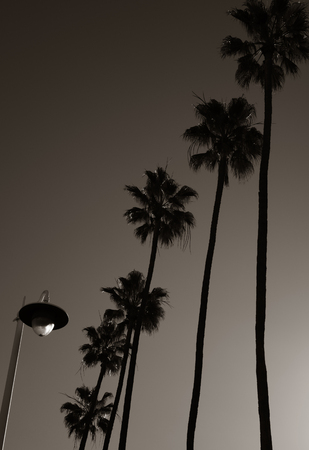 lampost: Nice artistic Image of Palm Trees and Lampost in Black and white Stock Photo
