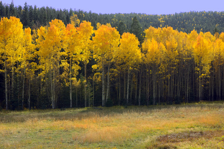 Beautiful  image of the aspen Trees in Northern New Mexico photo
