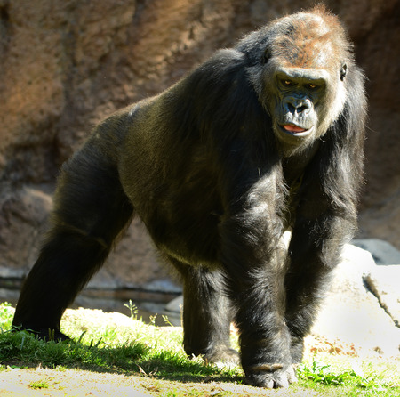 hominid: Nice image Of a male Gorilla walking