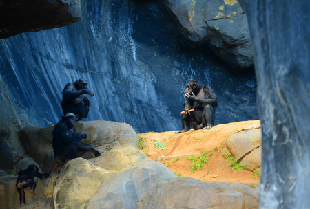 chimpances: Bonita imagen de una familia grupo de chimpanc�s en una cueva de estar con Luz en el macho alfa Foto de archivo