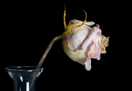faded: Beautiful Single Faded Rose in a Vase Isolated On Black