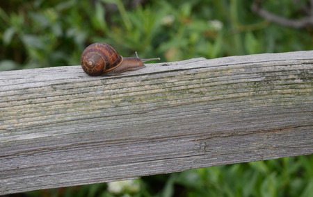 slither: Nice simple Image of a common Garden Snail