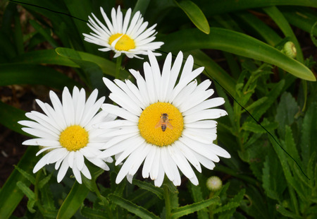 shasta daisy: Nice Natural Garden Image of a Shasta Daisy with Honey Bee Stock Photo