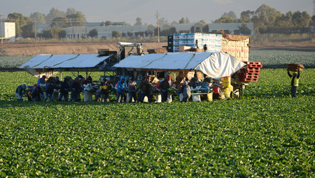 labour: Nice Image Of workers Picking Lettuce in Salinas valley California