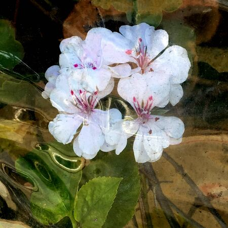 Very Nice Painting Of a reflection of a Geranium Flower