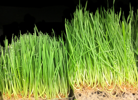 Very Nice Image of Wheat Grass on Black