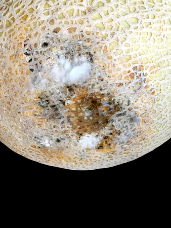 Close Up Photo Of a rotten ,Molded and Mildew Cantalope Stock Photo