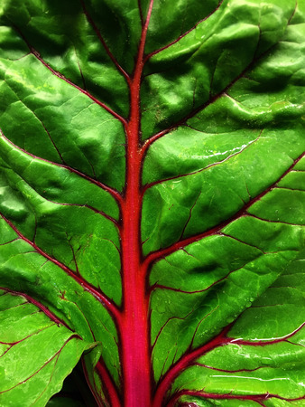 Very nice Closeup Of a leaf of fresh red Swiss chard