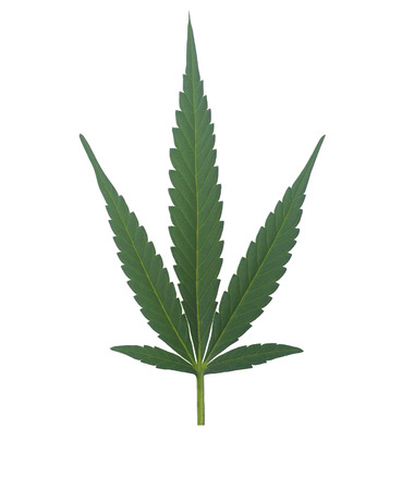 The Ultimate isolation of a perfect marijuana leaf.