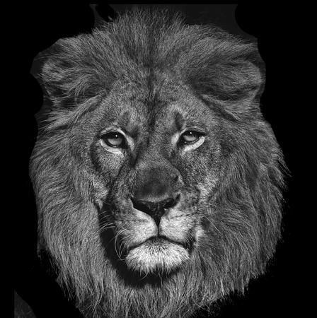 A Beautiful Striking Portrait Of a Lion On Black Stock Photo