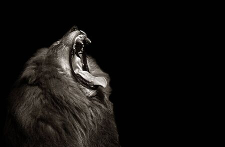 beautiful Image of a lion with It's Mouth Open