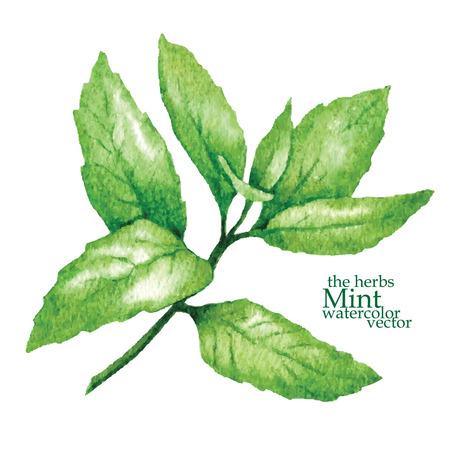 menta: Hecho a mano dibujo vectorial de las plantas hecho en estilo vintage