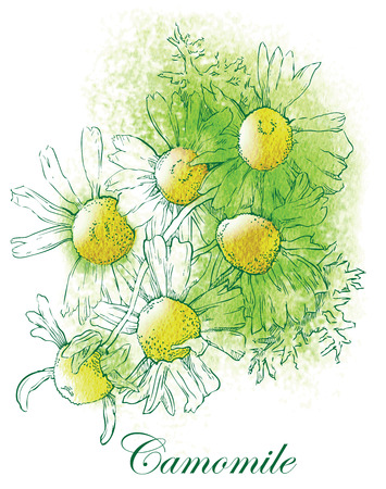 chamomile tea: Watercolor sketch of camomile flowers. Vector illustration.