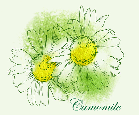 xwhite: Watercolor sketch of camomile flowers. Vector illustration.