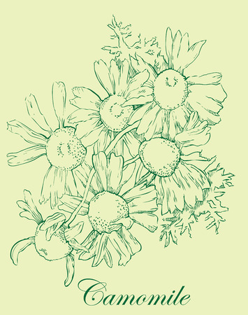 camomile tea: Watercolor sketch of camomile flowers. Vector illustration.