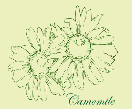 mint leaves: Watercolor sketch of camomile flowers. Vector illustration.