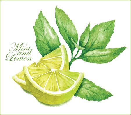 menta: Hecho a mano dibujo vectorial de limón con hojas de menta.