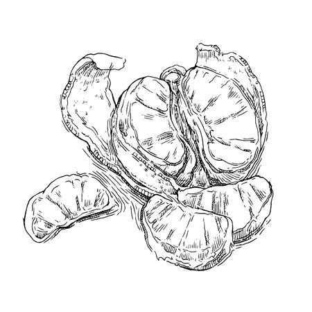 mandarins: Hand made vector sketch of mandarine made in vintage style. Illustration