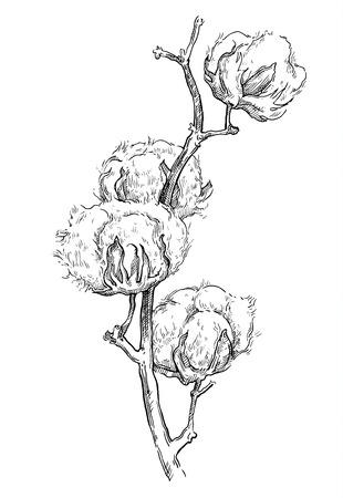 Hand drawn cotton brunch in vintage style Ilustração