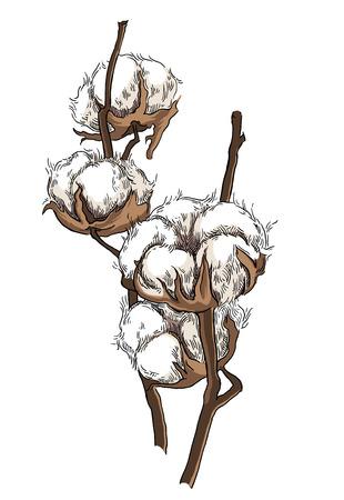 cotton: Hand drawn cotton brunch in vintage style Illustration