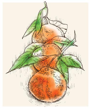 mandarins: sketch of orange. Orange juice. Orange products. Illustration