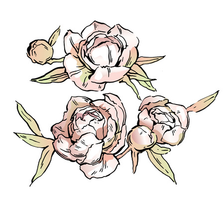Beautiful hand-drawn bouquet of pink peonies. Vector illustration