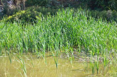 duckweed: Small pond