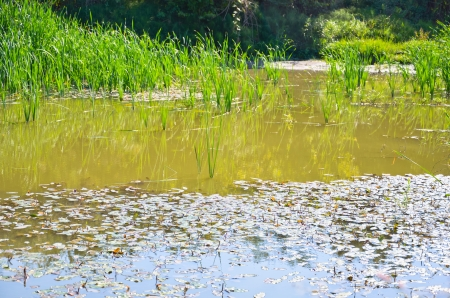 Small pond with reeds in the late summer photo