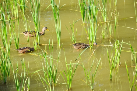 Ducks on the pond  in late summer photo