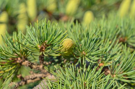 Branch of a pine with  cones photo