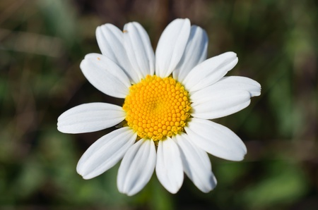kamille: Close up of beautifeul white single camomile