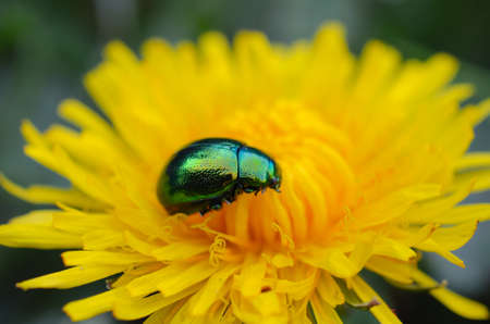 Close up of green chafer on yellow flower Stock Photo