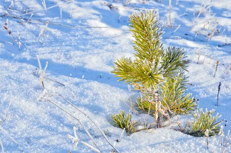 Background of Close up of pine in winter Stock Photo