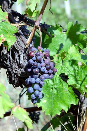 Background of grapes in wineyard.Crimea Stock Photo