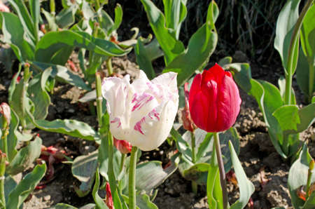Beautiful background of tulips blossom  in spring