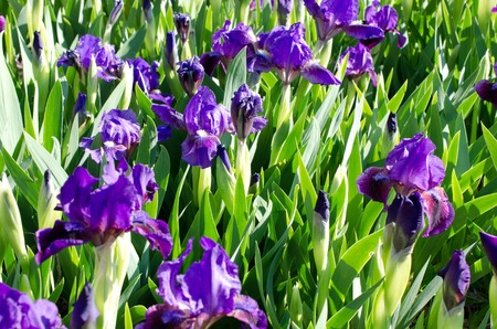 iris blossom: Beautiful background of iris  blossom  in spring Stock Photo