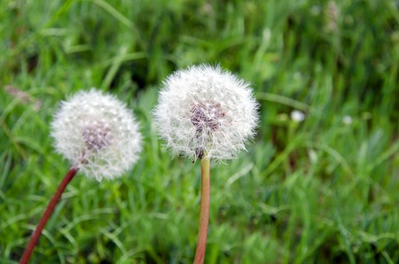 Closeup of dandelion outdoors over green grass in spring in mountains of Crimea