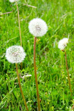 greem: Closeup of dandelion outdoors over green grass in spring in mountains of Crimea