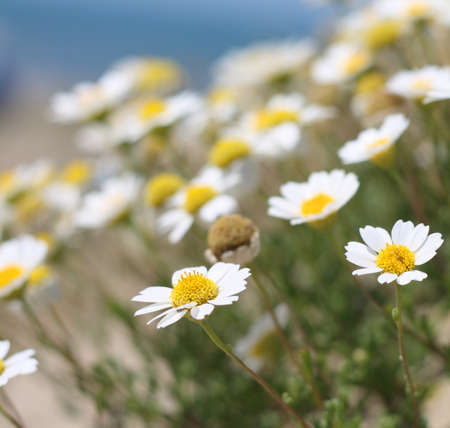wild chamomile  Stock Photo