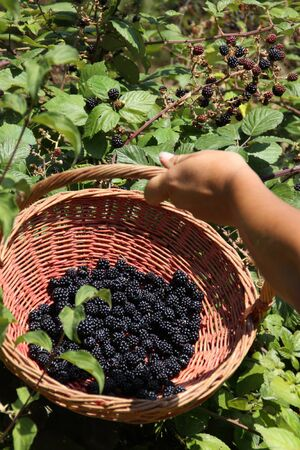 Woman collects blackberries