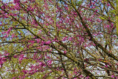 carob tree in bloom