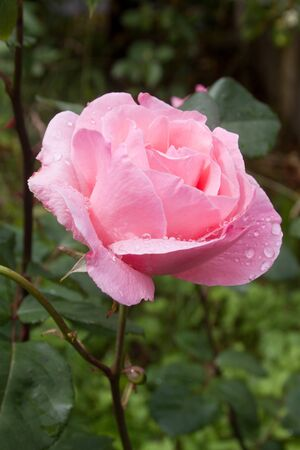 rose wet from rain drops in a courtyard garden