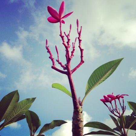 plumerias: Plumerias tree Stock Photo