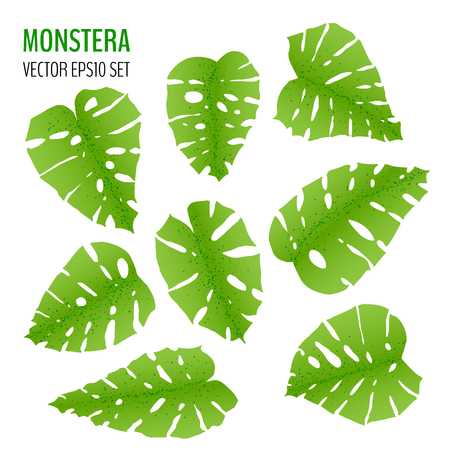 Sat of various monstera leaves isolaited on white background. Tropical leaves vector collection. Vector illustration for your graphic design. Ilustracja