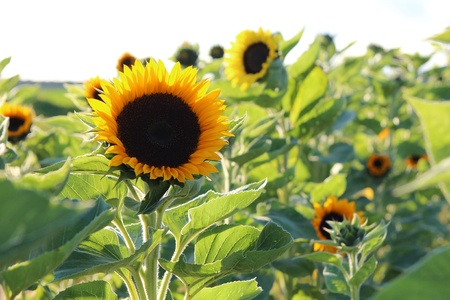A field of sunflowers in the autumn sun photo
