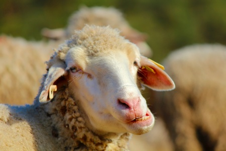 stock breeding: A chewing sheep looking angry