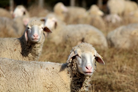 stock breeding: Two sheeps on a meadow with a curios gaze Stock Photo