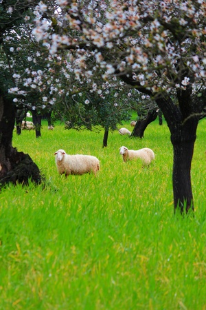 almond tree: Various sheeps on a green meadow in spring time