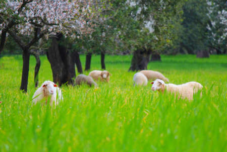 Various sheeps on a green meadow in spring time photo