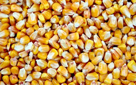 mais: Little yellow Mais grains at a macro shot